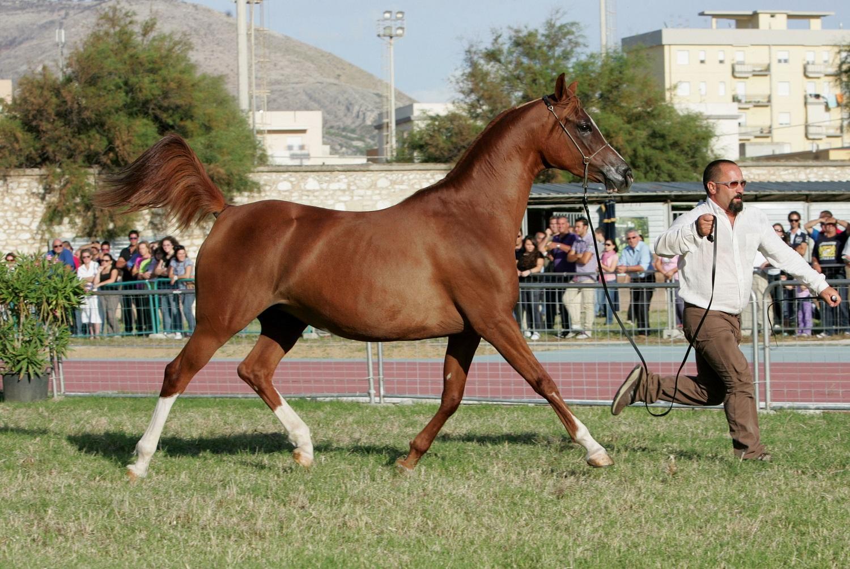 Al via l'Arabian horses Cup