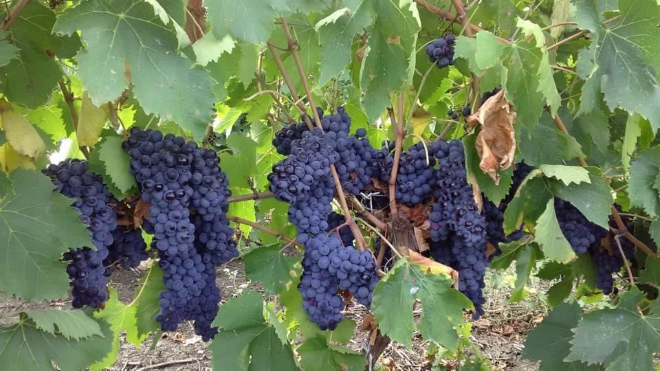 Rese per ettaro e controlli antifrode, il governo rassicura i viticoltori
