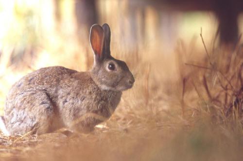 Stop alla caccia al coniglio in Sicilia: Legambiente, Lipu e Wwf plaudono alla sentenza del Tar