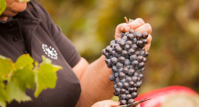 Mandrarossa e i vini Etna DOC: ecco come nascono